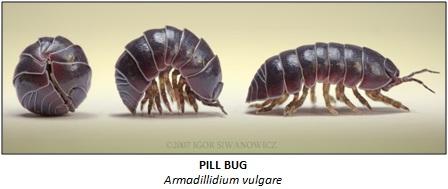 how do pill bugs sense their environment