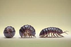 pil bug