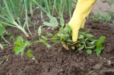 Can Weeds be Composted?